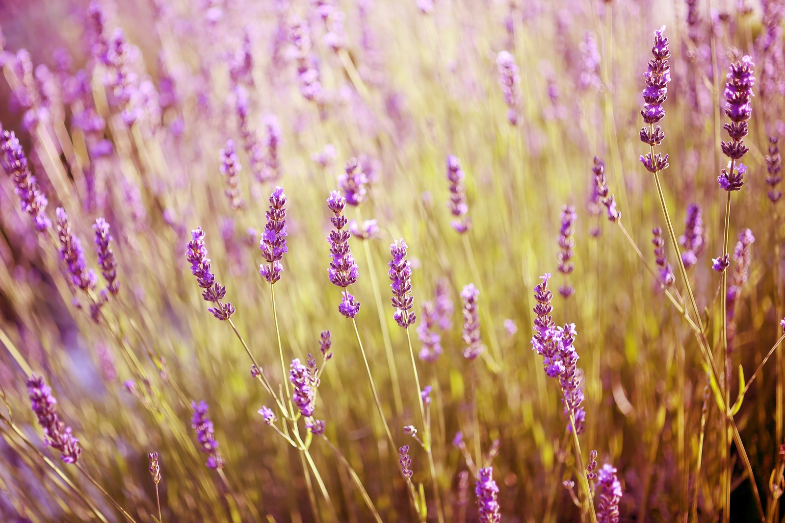 Lavender | Exactly How Does Sleepy Time Tea Work?