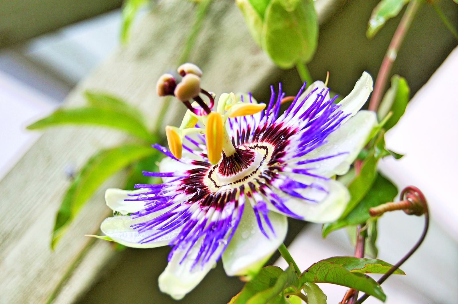 Passionflower | Exactly How Does Sleepy Time Tea Work?