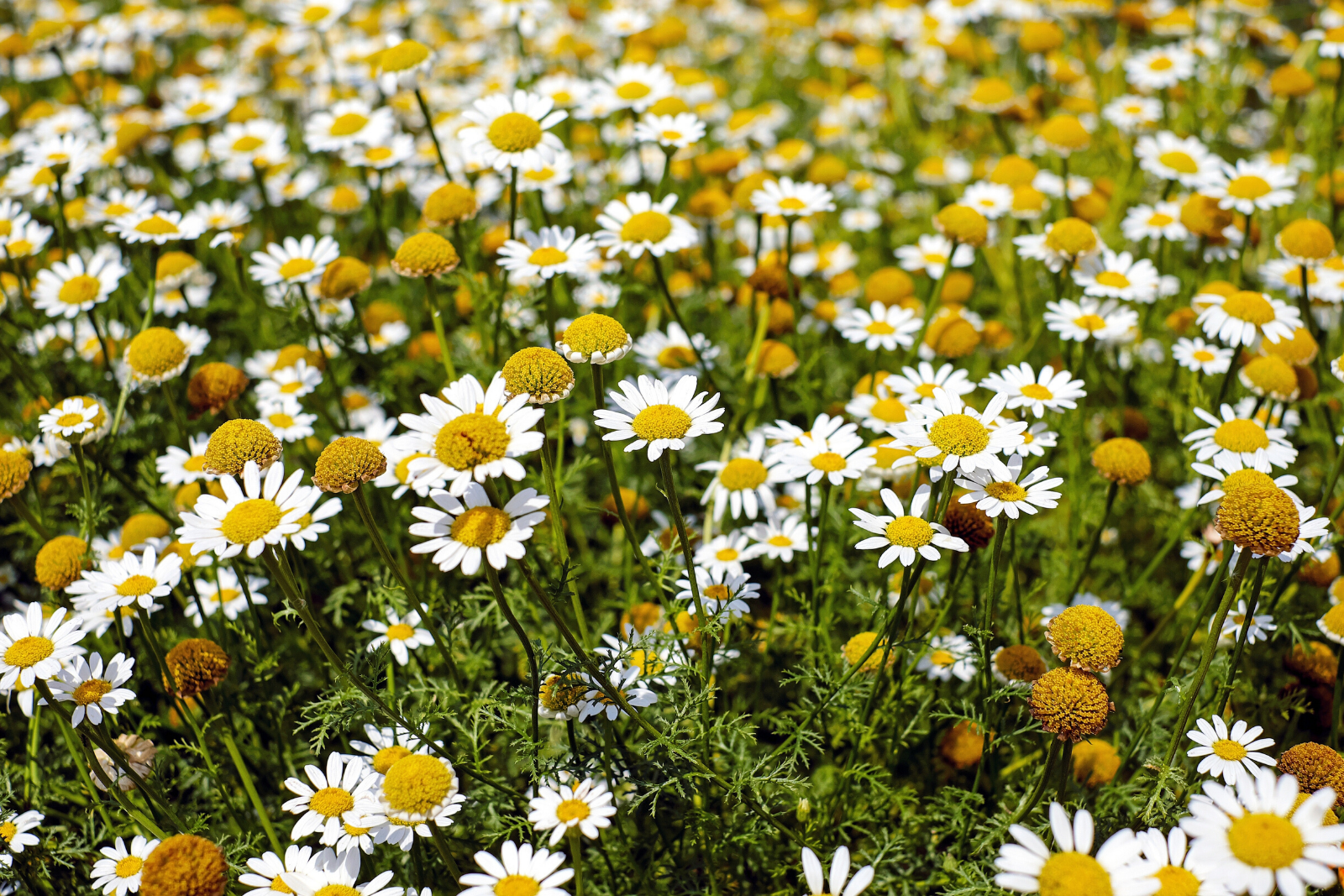 What Are The Proven Benefits of Chamomile Tea?