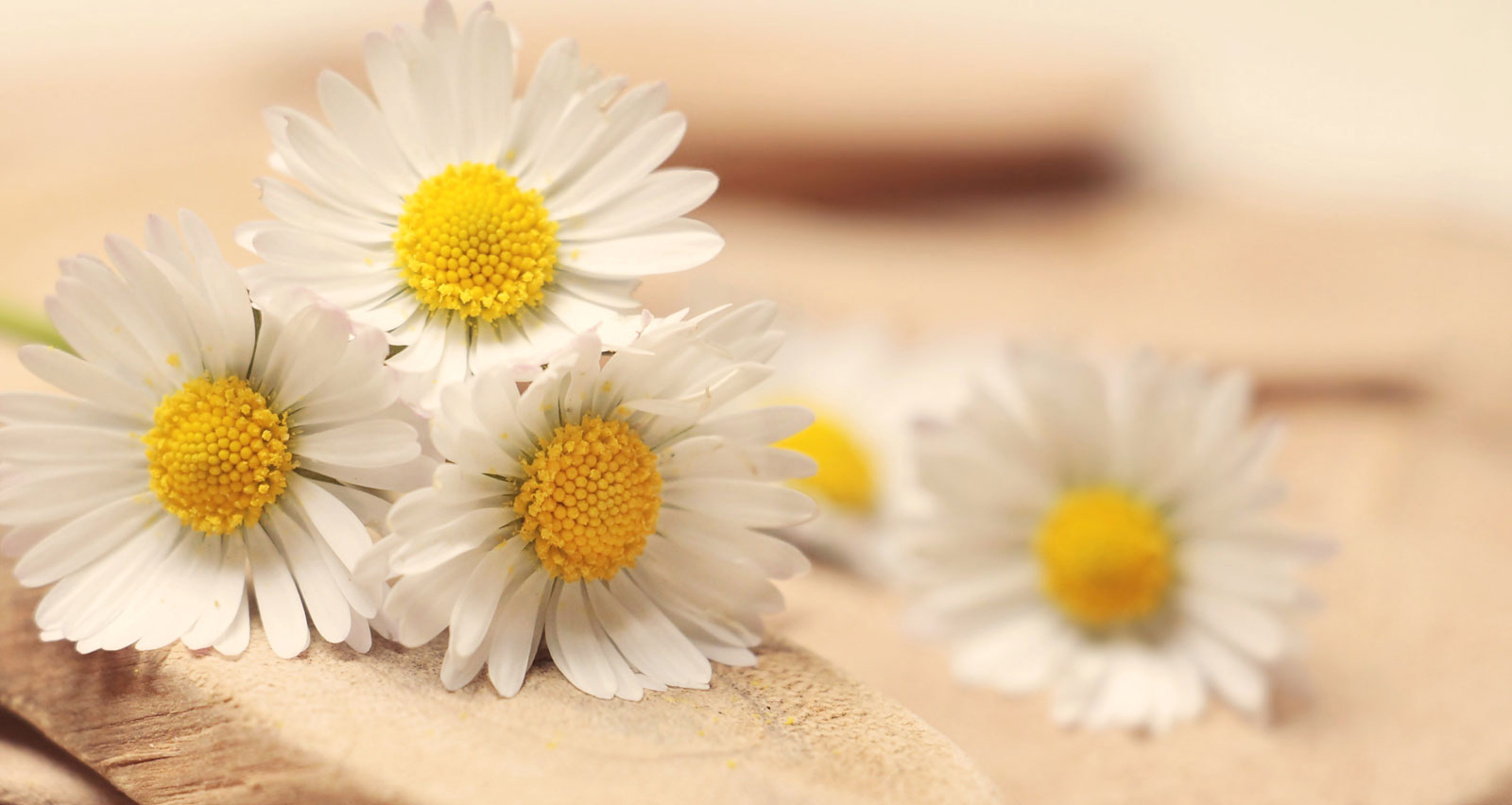 Chamomile | The Benefits Of Chamomile Tea Masks On Your Skin & Hair